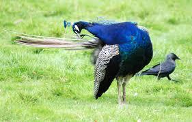 Crow_Peacock