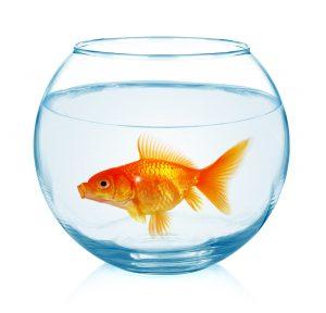 Goldfish in aquarium isolated on white background.